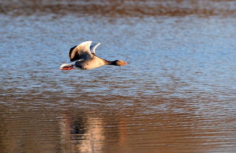 Gray goose in flight stock image
