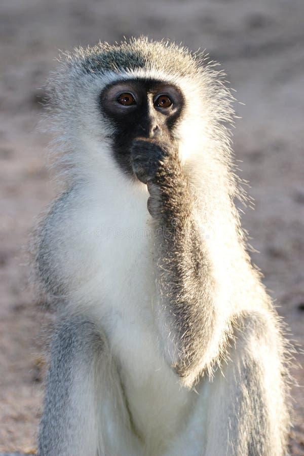 Free Gray Green Vervet Monkey Stock Images - 48125444