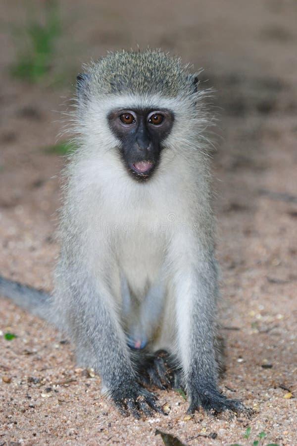 Free Gray Green Vervet Monkey Royalty Free Stock Images - 48125979