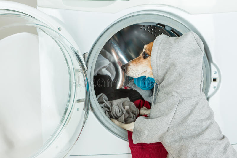 Gray grey hoodie sweater dog back closeup put clothes to washing machine. Funny smart pet Laundry and dry cleaning service. On the back you can place your stock image