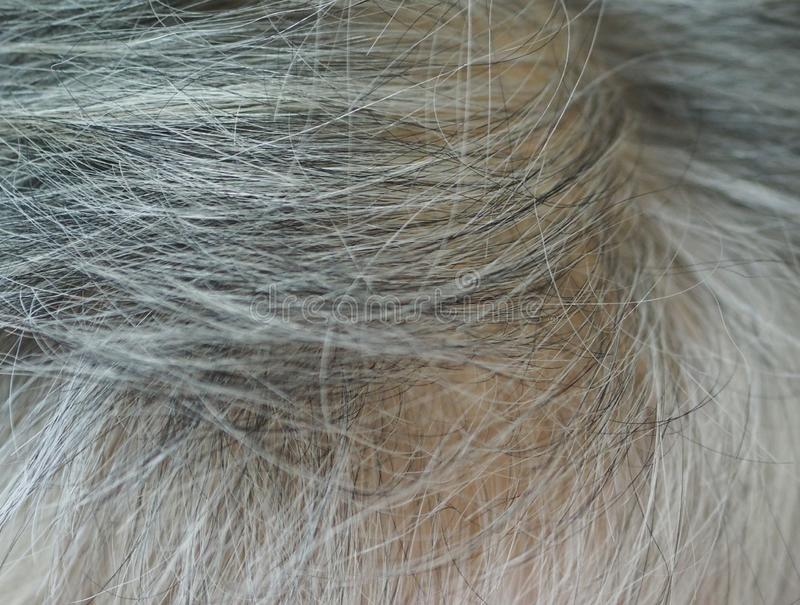 Gray hair, women become older, their hair on their head will become white. Closeup Gray hair, women become older, their hair on their head will become white royalty free stock photography