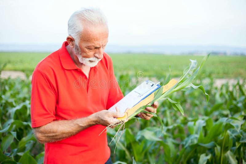 Gray-haired agronomist or farmer in red shirt measuring and examining young corn plant stem stock photo