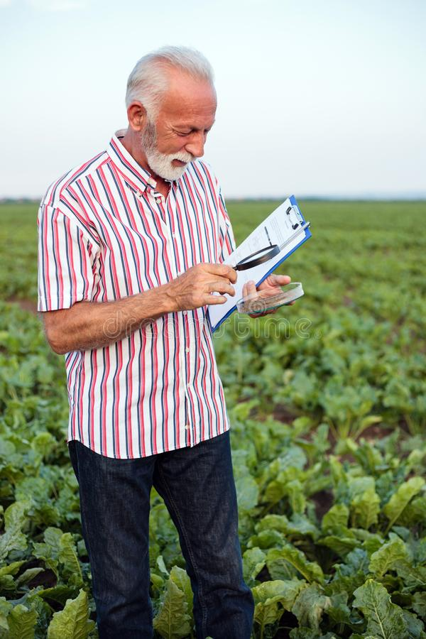 Gray haired senior agronomist or farmer examining soil samples under a magnifying glass. Standing in a soy field with a clipboard and a questionnaire royalty free stock images