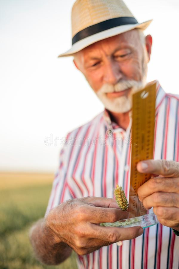 Gray haired senior agronomist or farmer measuring wheat beads before the harvest. Selective focus on foreground. Healthy food production stock images