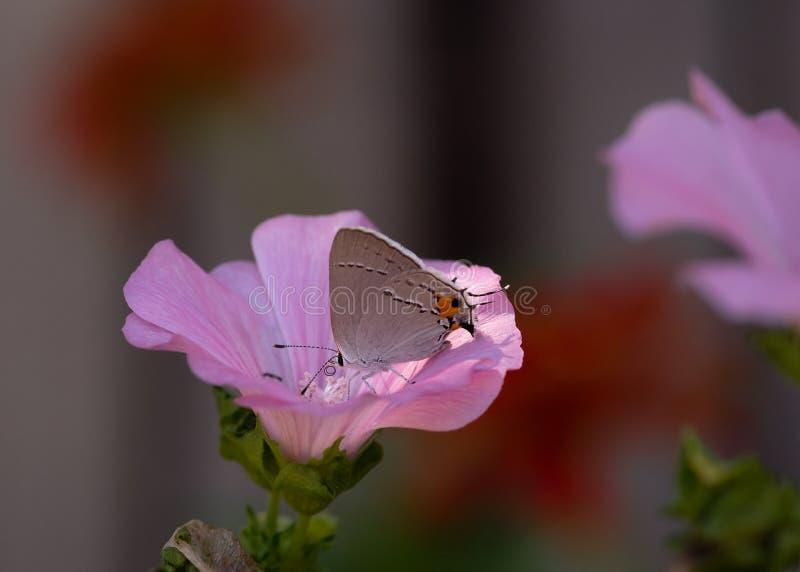 Gray Hairstreak Butterfly Macro bij de Roze Bloei royalty-vrije stock foto's