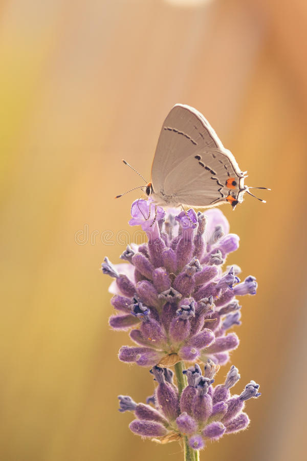 Download Gray Hairstreak Butterfly stock image. Image of biology - 68770463