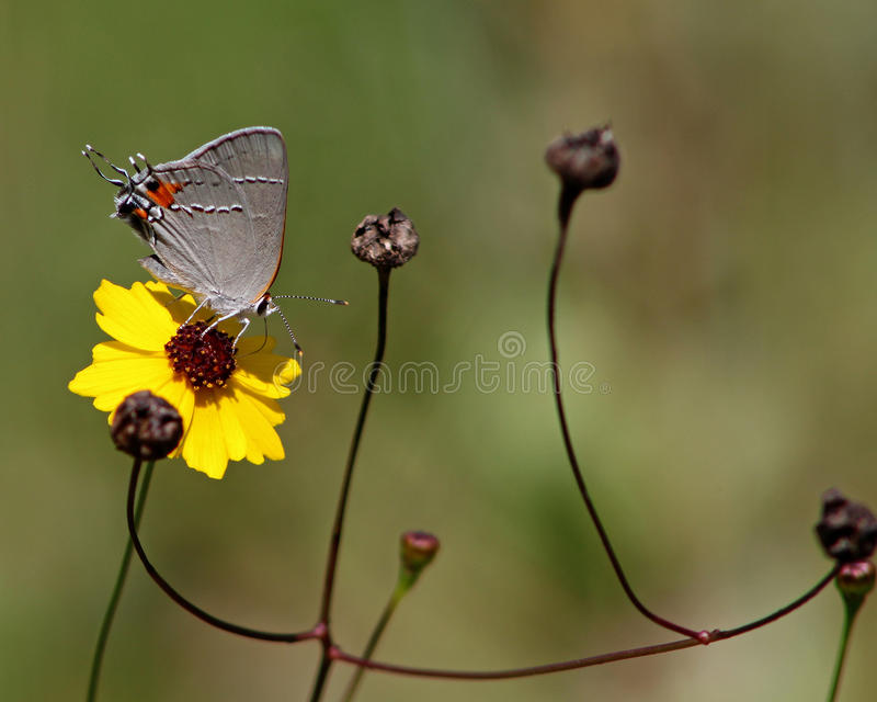 Gray Hairstreak With Coreopsis Flower image libre de droits