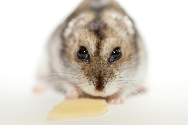 Download Gray hamster eating cheese stock photo. Image of closeup - 29580280