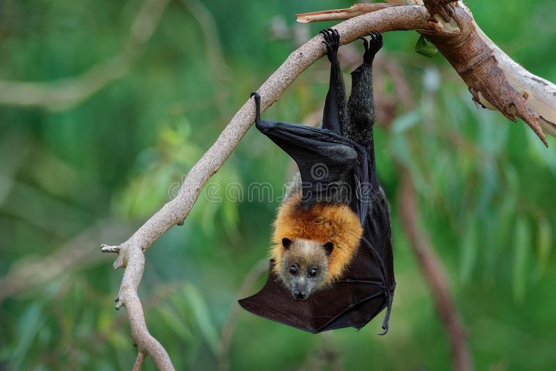 Gray-headed Flying Fox - Pteropus poliocephalus in the evening, fly away from day site, hang down on the branch royalty free stock photography