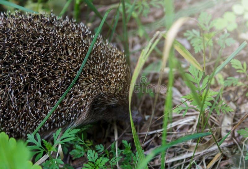 Gray Hedgehog funziona in erba verde nel piccolo mammifero europeo della foresta con il fronte grazioso e con i capelli coperti d fotografia stock