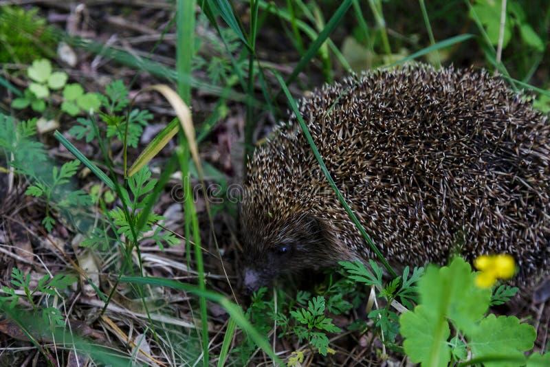 Gray Hedgehog l?uft in gr?nes Gras im Waldkleinen europ?ischen S?ugetier mit h?bschem Gesicht und mit den stacheligen Haaren auf  lizenzfreie stockbilder