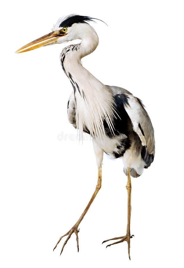 Download Gray heron stock photo. Image of plumage, grey, large - 12360442