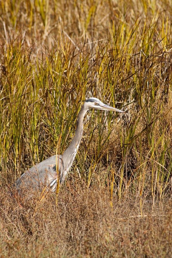 Download Gray heron stock photo. Image of searching, birdwatching - 17207898
