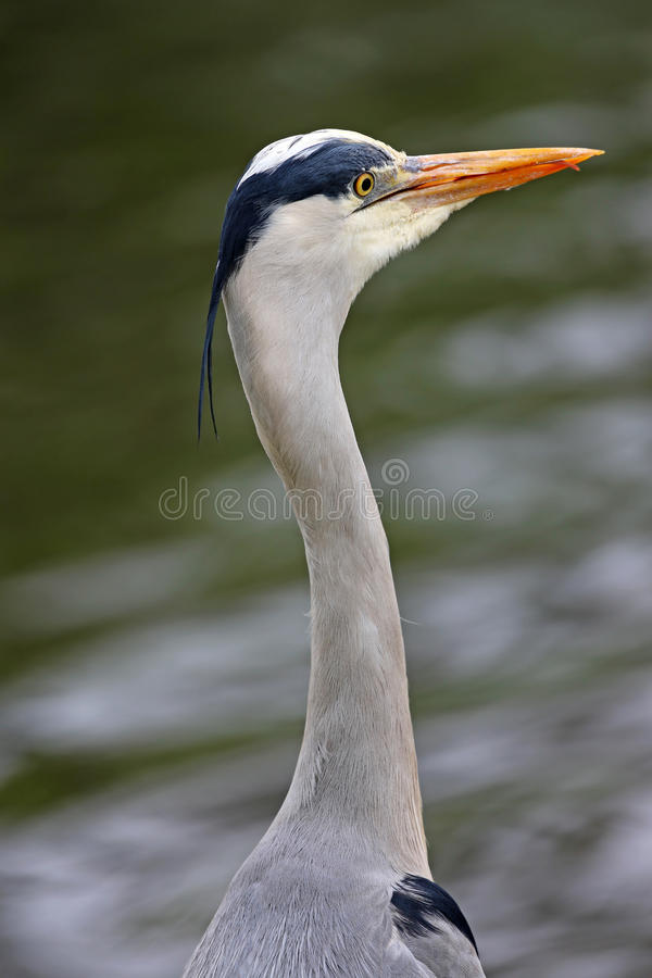 Download Gray Heron stock photo. Image of cinerea, wildlife, branch - 24220738