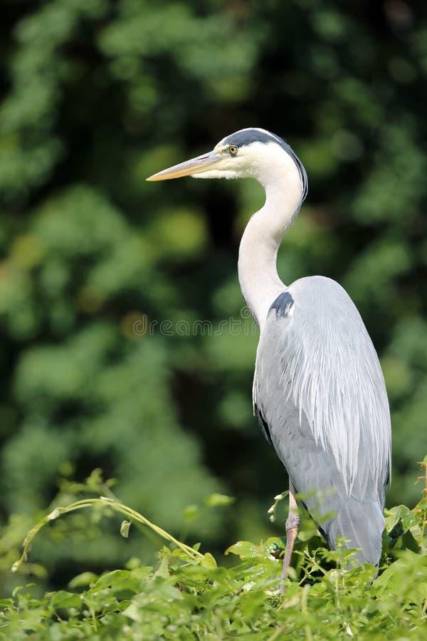 Download Gray Heron stock image. Image of beak, pond, swamp, cinerea - 25063747