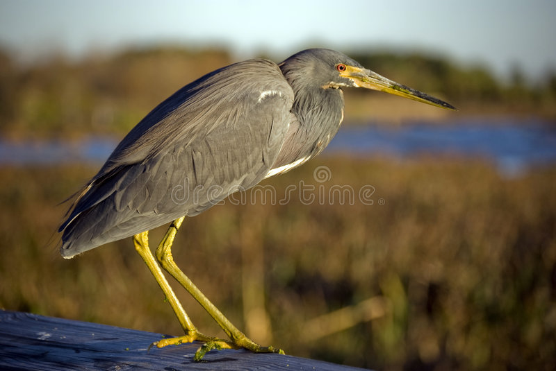 Download Gray heron stock image. Image of daylight, everglades - 8041591