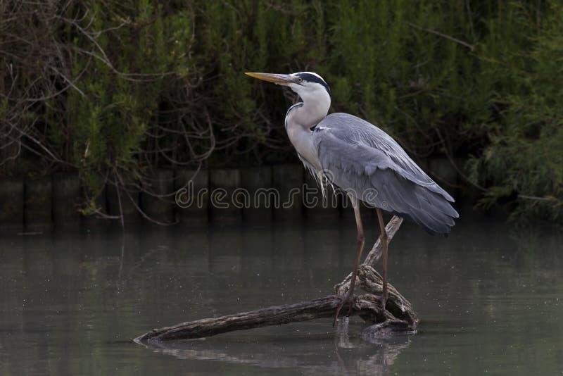 Gray Heron, Ardea cinerea, était perché image libre de droits