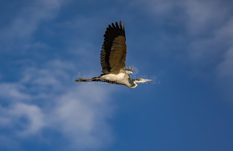 Gray Heron, Ardea cinerea, en vol avec le fond nuageux de ciel bleu image libre de droits