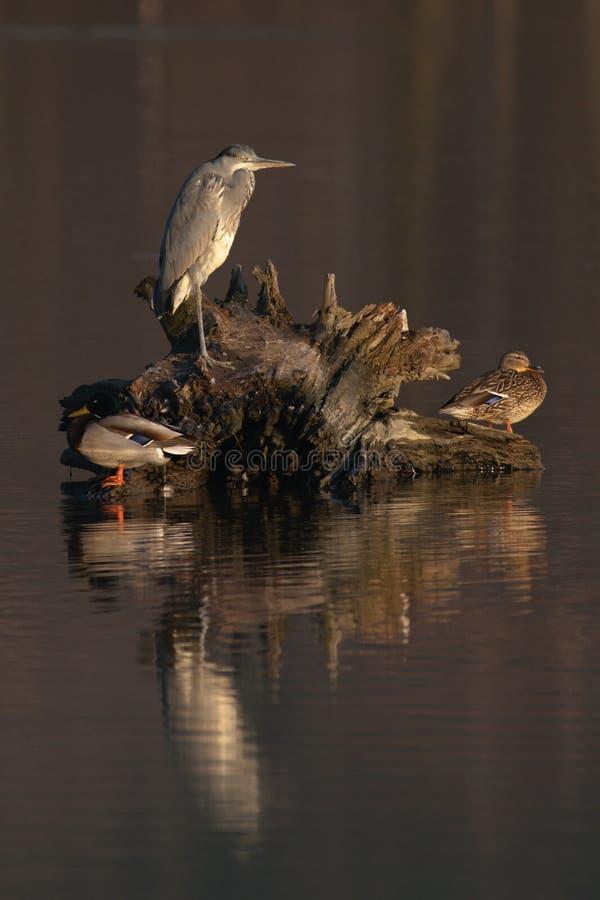 Gray Heron Ardea cinerea och två änder arkivfoto