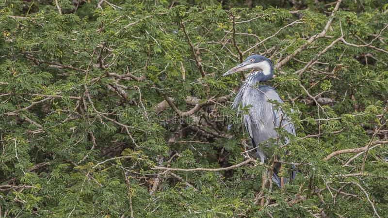 Gray Heron on Tree stock images