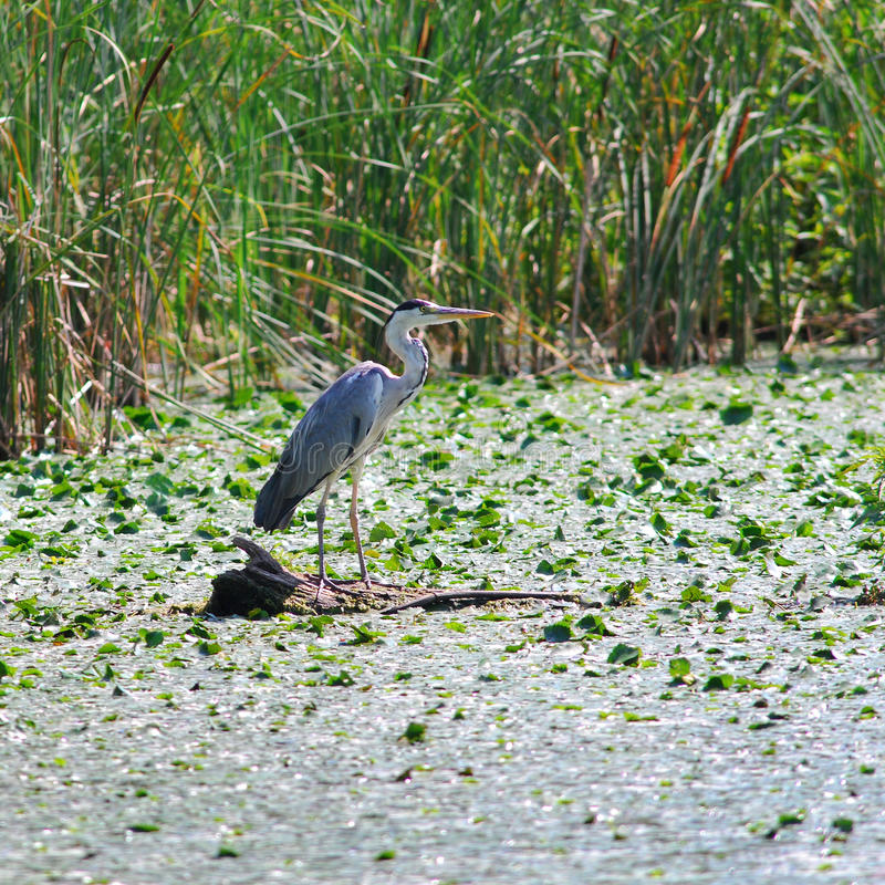 Gray Heron (Ardea cinerea) royalty free stock photos