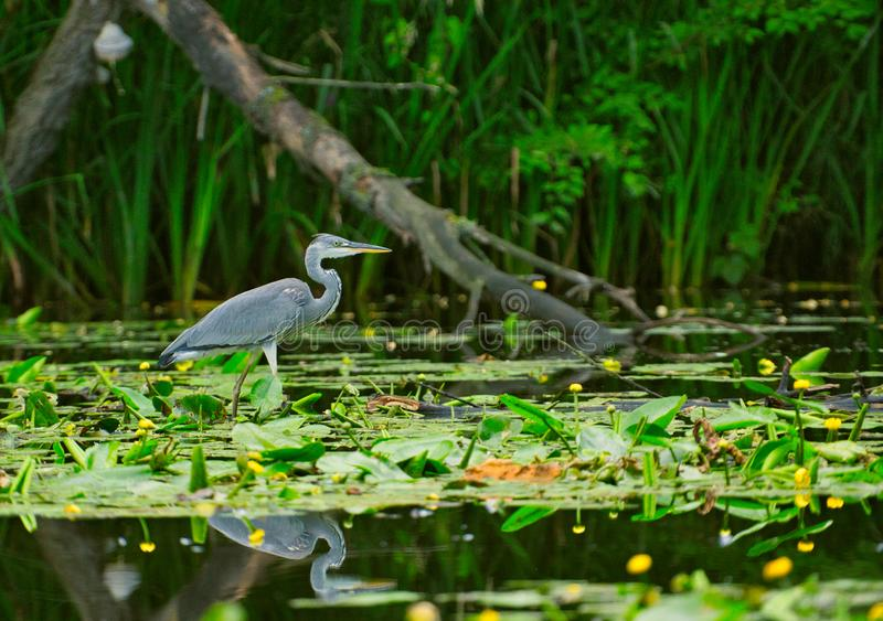 The gray heron Ardea cinerea stands in the water stock image