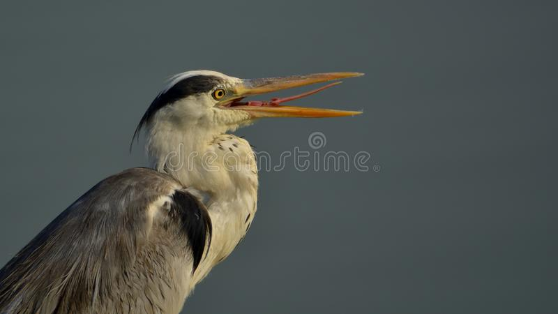 Gray heron with beaks open. Behavior of herons to keep their beaks open and break occasionally stock images