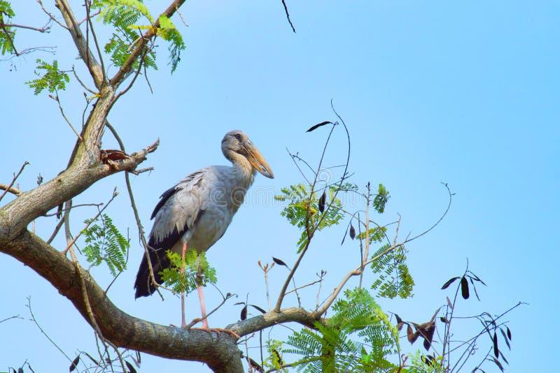 Gray Heron Bittern, garceta que se coloca en un árbol grande y que busca a la víctima con el cielo azul fotografía de archivo