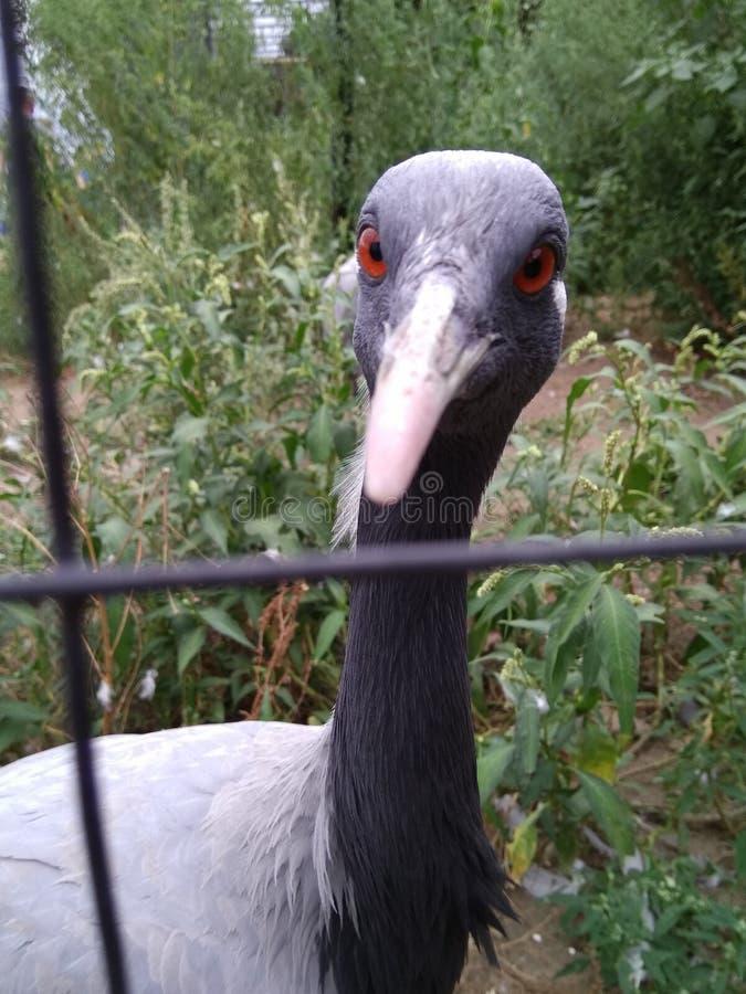 Gray Heron con los ojos rojos y un penacho blanco en la parte de atrás de su cabeza imagenes de archivo