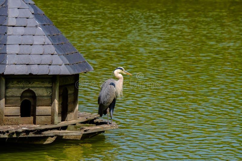 Gray Heron dans une cabine en bois de mangeoire sur un lac dans mauvais Pyrmont, Allemagne images libres de droits