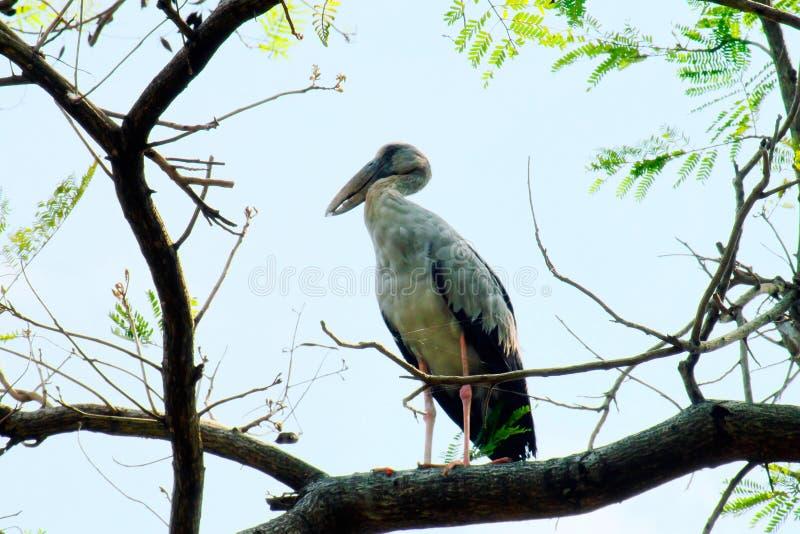Gray Heron Egret, tarabuso che sta su un grande albero e che cerca vittima con cielo blu fotografia stock