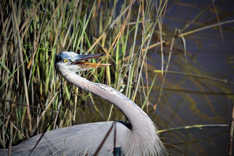Gray Heron Fishing images stock