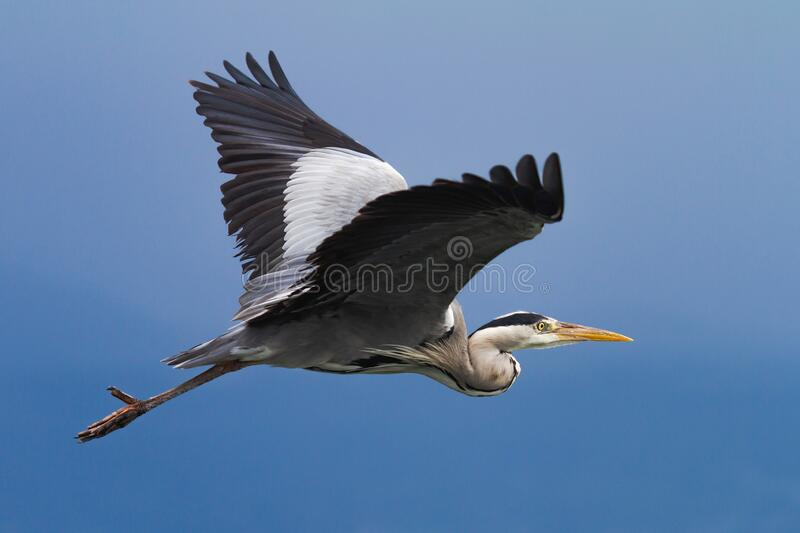 Gray heron in flight over a blue sky royalty free stock photography