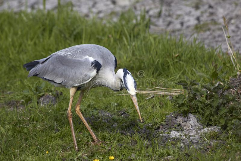 Gray heron hunts for frogs. In the swamp stock photo