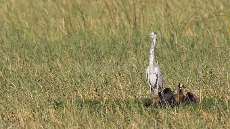 Gray Heron in moeras royalty-vrije stock afbeelding