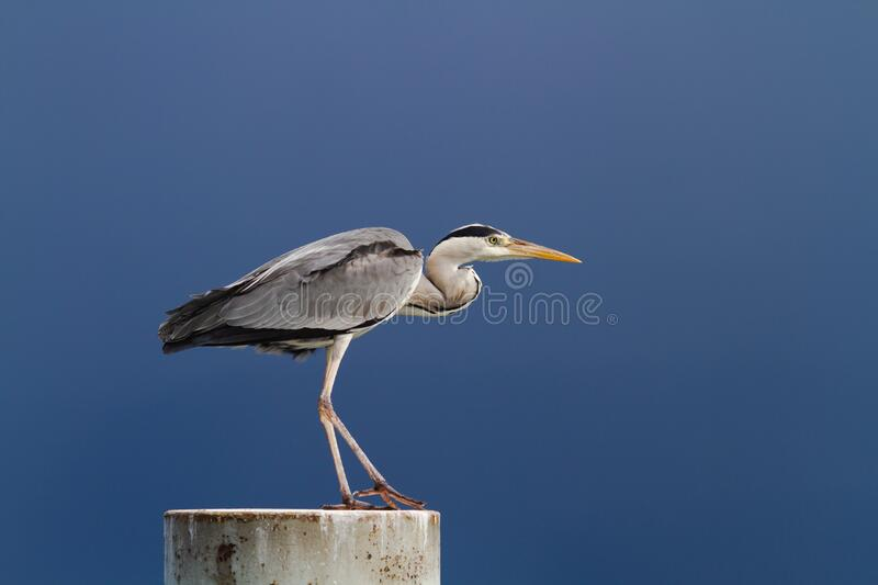 Gray heron standing over a blue sky stock image