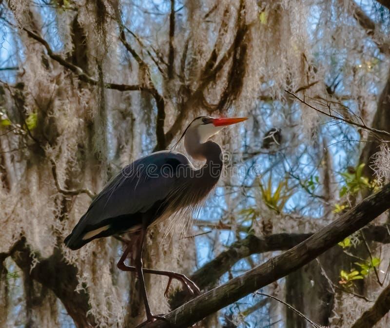 Gray Heron sulla palude fotografia stock