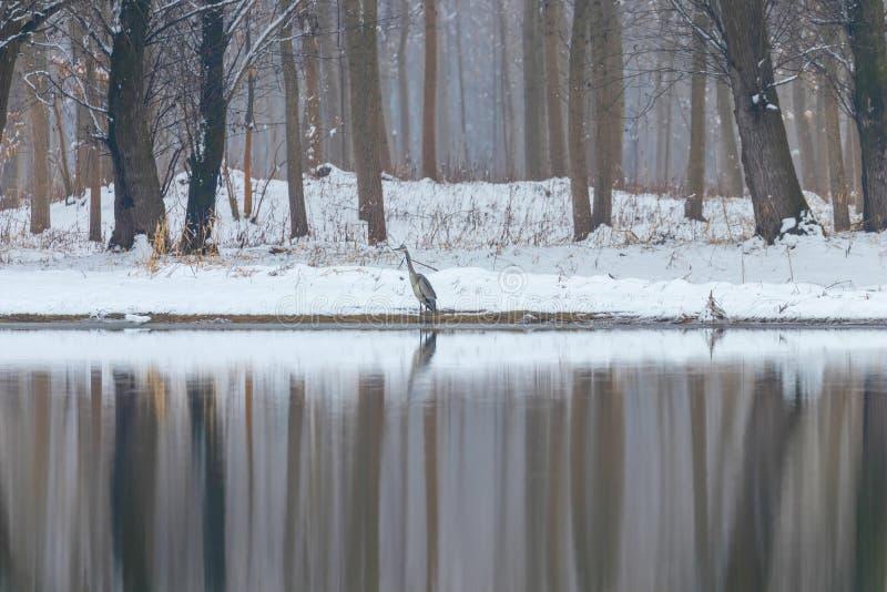 Gray heron, Winter lake scene reflecting in the water. Wildlife stock photos