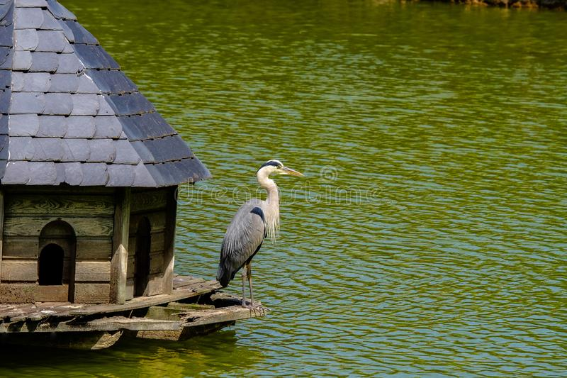 Gray Heron in a wooden manger cabin on a lake in Bad Pyrmont, Germany. Gray Heron in a wooden manger cabin on a lake in Bad Pyrmont in Lower Saxony, Germany royalty free stock image