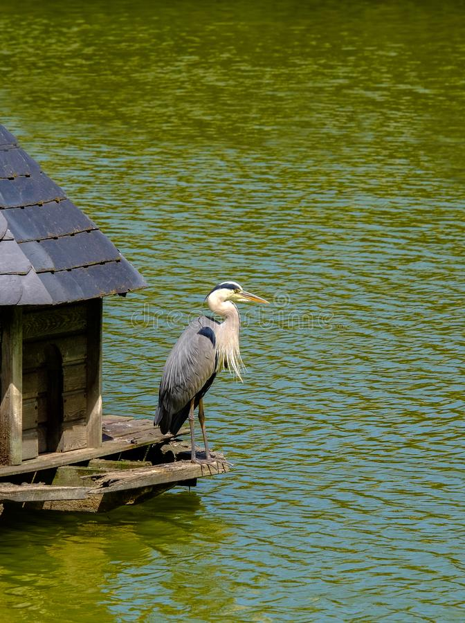Gray Heron in a wooden manger cabin on a lake in Bad Pyrmont, Germany. Gray Heron in a wooden manger cabin on a lake in Bad Pyrmont in Lower Saxony, Germany stock images