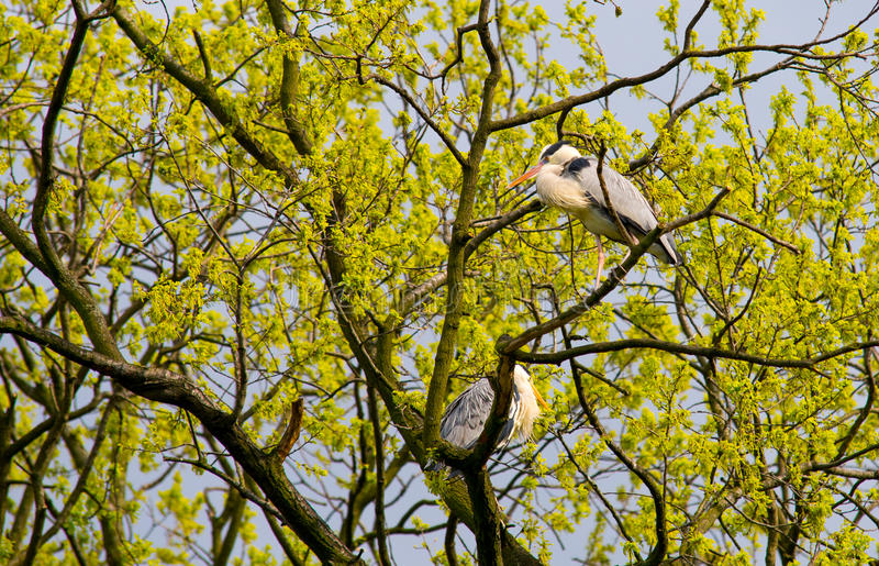 Gray Herons (Ardea Cinerea) en el árbol fotos de archivo libres de regalías