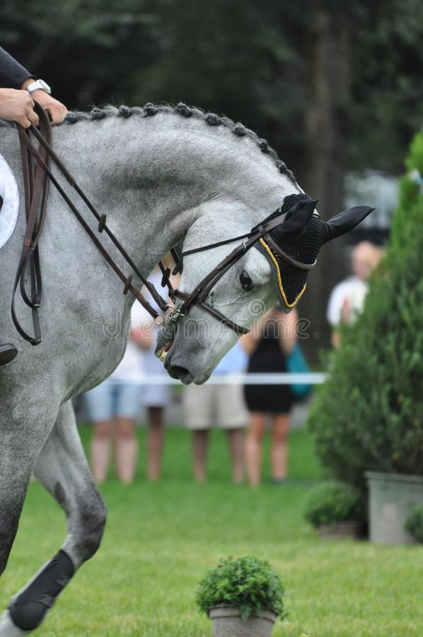 Download Gray Horse stock photo. Image of athlete, bridle, strength - 22104148