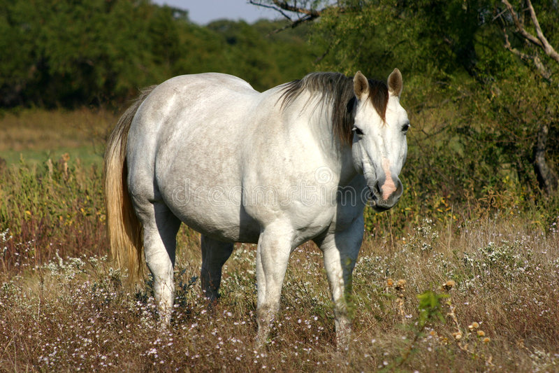 Gray Horse stock images
