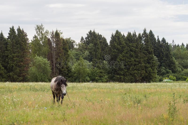 Gray horse eats grass on a green field. Horse grazing on the lawn stock photography