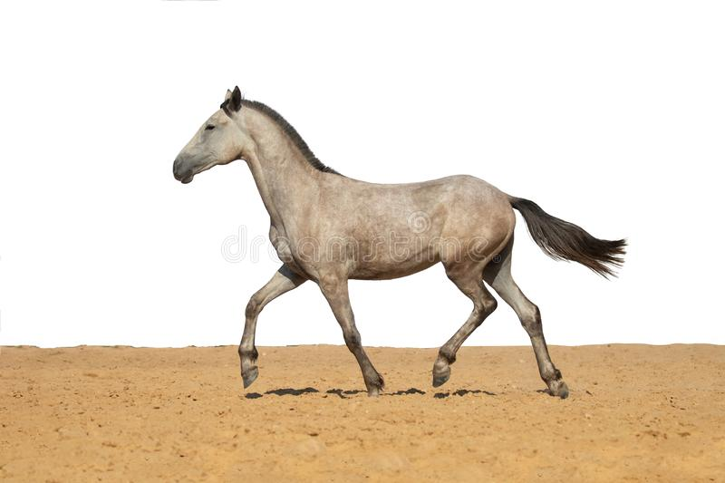 Gray horse foal galloping on sand on a white background royalty free stock images