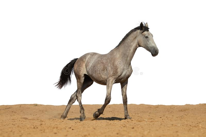 Gray horse foal galloping on sand on a white background stock photo