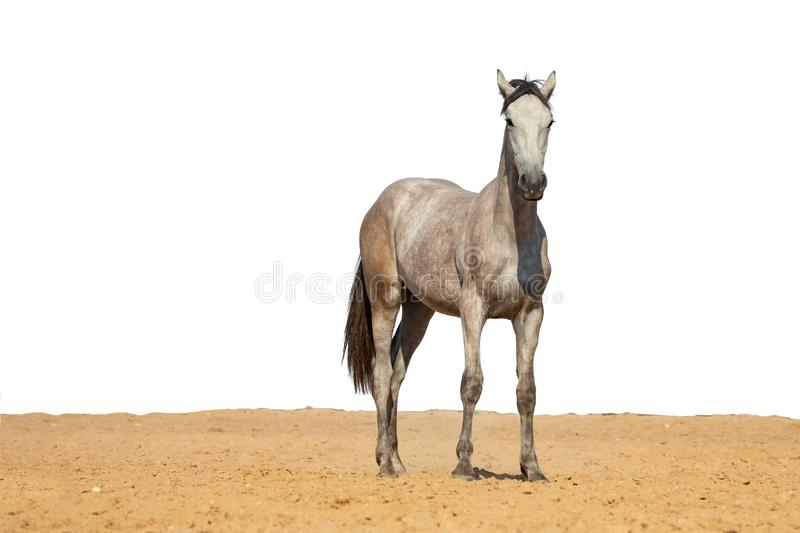 Gray horse foal galloping on sand on a white background stock photos