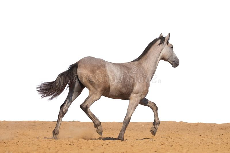 Horse foal jumps on sand on a white background stock image