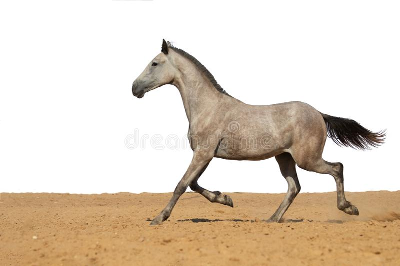 Horse foal jumps on sand on a white background stock photo
