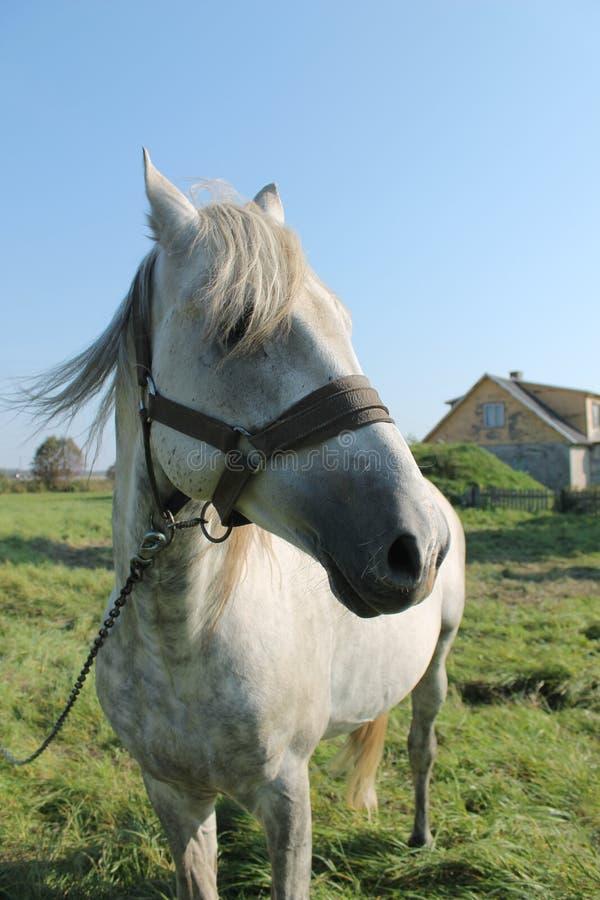 Gray horse stock photo